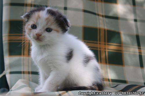 Already at home Scottish fold female kitty colour torti-harlequin on white SHE FOUND HER PHONE