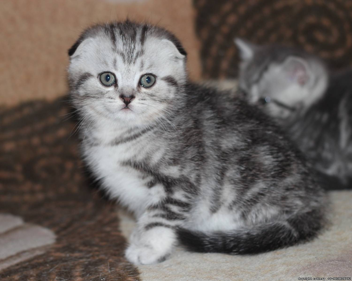 Cats breeders Day&Night Cattery Scottish fold kittens Home page