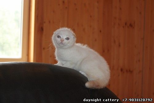 Already at home Sky dream Sugar candy-----Scottish fold kitten female Found home