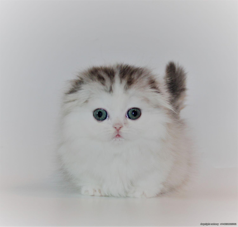 Munchkin kittens cattery