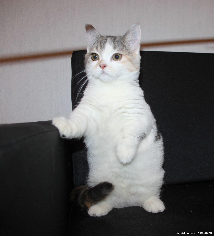 Scottish fold British Munchkin and Munchkin fold kittens Cats