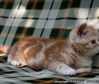 male kitten red marb...