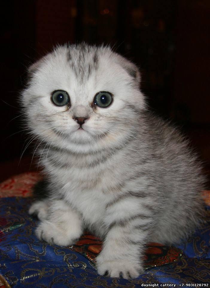 светло серые вислоухие котята фото слайдах пластмассовая