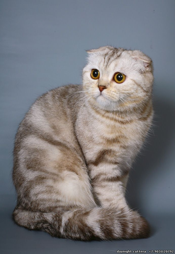 Cats Breeders Day Amp Night Cattery Scottish Fold Kittens